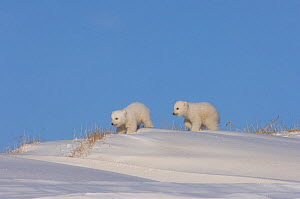 Two Polar bear (Ursus maritimus) newborn cubs playing outside their den, mouth of Canning River along the Arctic coast, eastern Arctic National Wildlife Refuge, Alaska  -  Steven Kazlowski