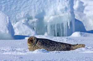 Ringed seal (Phoca hispida) portrait of pup lying on ice, Chukchi Sea, off shore from Point Barrow, Arctic Alaska - Steven Kazlowski