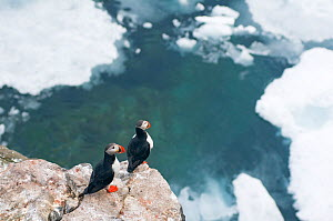 Pair of Atlantic puffins (Fratercula arctica) perched on cliffs along coast of Svalbard in summertime, Arctic.  -  Steven Kazlowski