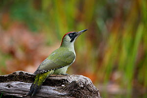 Green woodpecker (Picus viridis) female perching on log by garden pond, Bedfordshire, UK  -  Dave Bevan