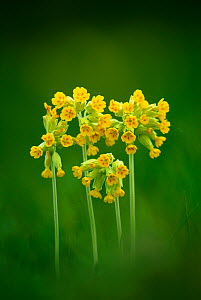 Cowslip (Primula veris) flowering in meadow, Cogden, Dorset, England UK. May  -  Colin Varndell