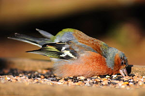 Sick male Chaffinch (Fringilla colebs) attempting to feed from bird table. Dorset, UK March 2010  -  Colin Varndell