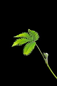 Sensitive Plant (Mimosa pudica) shown before touching (then 2 stages of leaf and stem collapse) Sequence 1 / 3 - Adrian Davies
