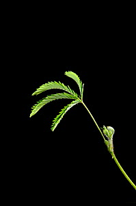 Sensitive Plant (Mimosa pudica) showing leaf collapse Sequence 2 / 3 - Adrian Davies