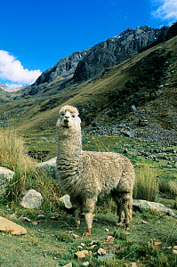 Alpaca (Lama pacos) species reintroduced to Andes, Huascaran National Park, Peru. - Kevin Schafer