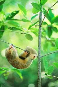 Silky pygmy anteater (Cyclopes didactylus) sleeping, hanging from mangrove branch, wild,  Caroni Swamp, Trinidad West Indies  -  Kevin Schafer