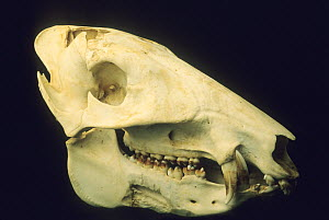 Skull of an adult Collared peccary / Javelina (Tayassu tajacu) Belize. - Kevin Schafer