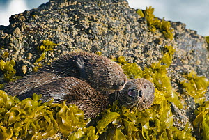 Female Marine otter (Lontra felina) and pup playing on kelp covered rock, Chiloe Island, Chile, Endangered species  -  Kevin Schafer