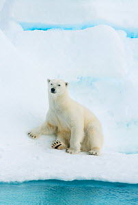 Polar bear (Ursus maritimus) sitting on pack ice, Svalbard, Arctic Norway, vulnerable species 2010  -  Kevin Schafer
