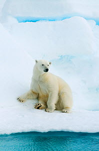 Polar bear (Ursus maritimus) resting on pack ice, Svalbard, Arctic Norway, vulnerable species 2010  -  Kevin Schafer