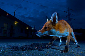 Urban fox (Vulpes vulpes) portrait in suburban street at night, London, England.  -  Laurent Geslin