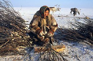 Young Nenets woman chopping Willow (Salix genus) to be used for firewood. Gydan Peninsula, Yamal, Western Siberia, Russia, 2000.  -  Bryan and Cherry Alexander