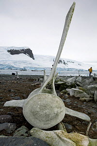Whale vertebra at Mikkelsen Harbour, Trinity Island, Antarctica, February 2009.  -  Bryan and Cherry Alexander