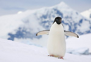 Adelie penguin (Pygoscelis adeliae) on snow bank at Prospect Point with the mountains of Renaud Island beyond. Antarctica. - Bryan and Cherry Alexander