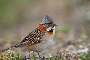 Rufous collared sparrow (Zonotrichia capensis) in Ushuaia, Argentina.  -  Bryan and Cherry Alexander