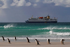 """Gentoo penguins (Pygoscelis papua) in blowing sand with the """"Ocean Nova"""" anchored beyond. Saunders Island, Falkland Islands, 2009. - Bryan and Cherry Alexander"""