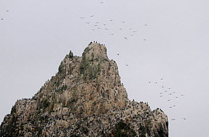 Peak of Shag Rocks, populated by  Imperial shag / Blue eyed cormorant colony (Phalacrocorax atriceps), Southern Ocean.  -  Bryan and Cherry Alexander