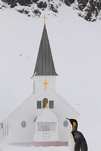 King penguin (Aptenodytes patagonicus) in front of Grytviken Church in snow, South Georgia, 2009. - Bryan and Cherry Alexander