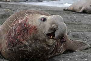 Bull Elephant seal (Mirounga genus) with badly torn nose at the end of the breeding season, South Georgia. - Bryan and Cherry Alexander