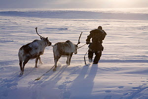 Chukchi herder leading two of his draught Reindeer / caribou (Rangifer tarandus). Chukotskiy Peninsula, Chukotka, Siberia, Russia, spring 2010  -  Bryan and Cherry Alexander