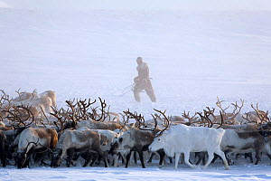 Chukchi man rounding up herd of Reindeer / caribou (Rangifer tarandus) near their winter pastures on the Chukotskiy Peninsula. Chukotka, Siberia, Russia, spring 2010  -  Bryan and Cherry Alexander