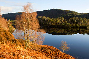 Birch trees (Betula) at Loch Beinn a' Mheadhoin, Glen Affric, Scotland, January.  -  Bryan and Cherry Alexander