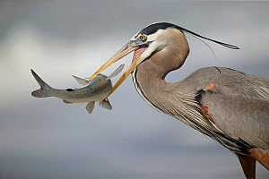 Great Blue Heron (Ardea herodias) with catfish.  -  Visuals Unlimited