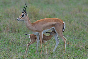 Grant's Gazelle (Gazella granti) nursing its young, East Africa.  -  Visuals Unlimited
