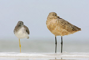 Greater Yellowlegs (Tringa melanoleuca) with a Marbled Godwit (Limosa fedoa) sleeping, North America. - Visuals Unlimited