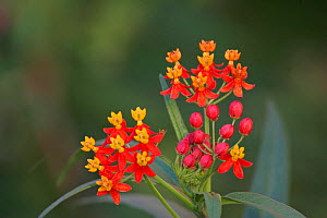 Mexican Milkweed flowers (Asclepias curassavica) Southwestern North America.  -  Visuals Unlimited