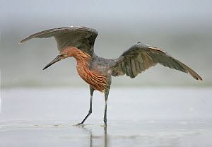 Reddish Egret (Egretta rufescens) dancing behaviour, Southern USA. - Visuals Unlimited