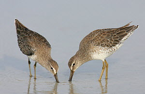 Short-billed Dowitchers (Limnodromus griseus) in winter plumage feeding, Southern USA. - Visuals Unlimited