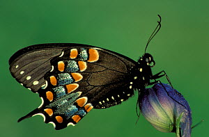Spicebush Swallowtail Butterfly (Papilio troilus), Family Papilionidae, Ohio, USA.  -  Visuals Unlimited