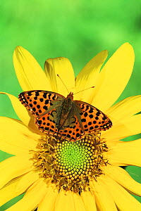 Queen of Spain Fritillary Butterfly (Issoria lathonia), Family Nymphalidae, England.  -  Visuals Unlimited