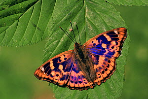 Female Lesser Purple Emperor Butterfly (Apatura ilia), Family Nymphalidae, Japan.  -  Visuals Unlimited