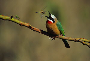 White-fronted Bee-Eater (Merops bullockoides) capturing a flying Dragonfly, Kenya. - Visuals Unlimited
