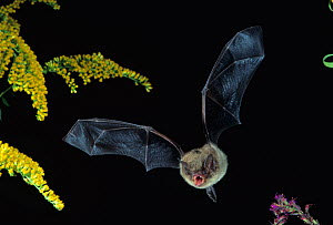 Little Brown Bat (Myotis lucifugus) in flight with its mouth open to emit echolocation sounds in its hunt for prey and avoidance of objects, North America. - Visuals Unlimited