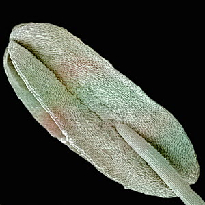 Scanning electron microscope image of an anther (Penta lanceolata). SEM X150. - Visuals Unlimited