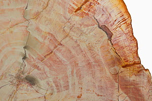 Petrified Wood details, showing growth rings. - Visuals Unlimited