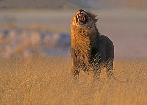 African lion (Panthero leo) male giving flehmen grimace, Tanzania, East Africa  -  Charlie Summers
