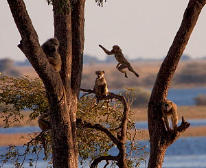 Chacma baboon (Papio ursinus) juveniles playing in tree, Botswana - Charlie Summers