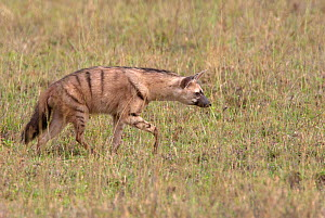 Aardwolf (Proteles cristatus) searching for termite prey, Serengeti NP, Tanzania, East Africa - Charlie Summers