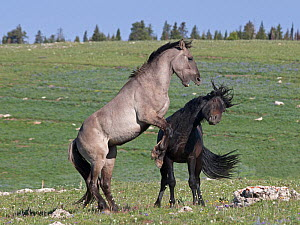Two wild horses / Mustang (Equus caballus) stallions in dominance fight, Montana, USA  -  Charlie Summers