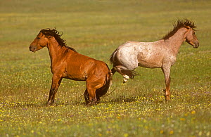 Two Mustang (Equus caballus) Stallions stand rear to rear and kicking each other, Mountain Range, Montana, USA  -  Charlie Summers