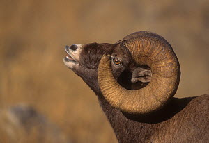 Rocky Mountain Bighorn (Ovis canadensis) portrait of ram displaying Flehman grimace to tell if a Ewe has come into estrous, McMinn Plateau,Yellowstone National Park, Wyoming, USA  -  Charlie Summers
