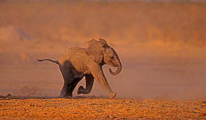 African Elephant (Loxodonta africana) baby running after the group to reunite with its mother. Etosha National Park, Namibia, Southern Africa  -  Charlie Summers