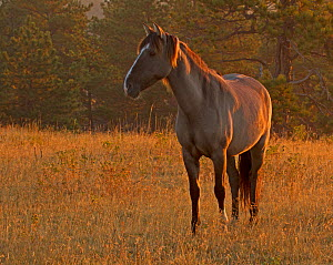 Mustang (Equus ferus caballus) portrait standing in grassland at dusk, IRAM Wild Horse Sanctuary in South Dakota, USA, September  -  Charlie Summers