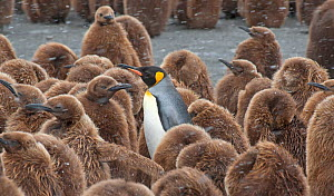 King Penguin (Aptenodytes patagonicus) adult surrounded by huddled chicks, riding out a snowstorm at Gold Harbor, South Georgia.  -  Charlie Summers