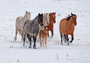 Mustang (Equus caballus) herd trotting in light snow covered prairie, IRAM Wild Horse Sanctuary south of Hot Springs, South Dakota, USA, May  -  Charlie Summers