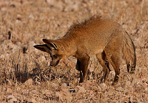 Bat-eared Fox (Otocyon megalotis) foraging / listening to the scratching sounds of an insects underground, Kgalagadi TB Park, South Africa  -  Charlie Summers